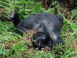 Schöne Berggorillas.ppsx