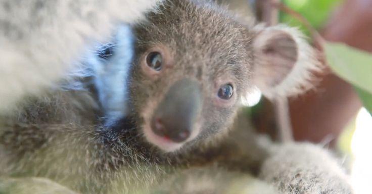 Un koala recién nacido en Sydney, Australia. Un regalo para las Navidades 2015. Vea también el vídeo. While we couldn't tie a ribbon around this new koala joey, her presence is a present in itself.