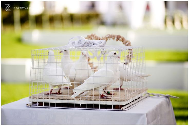 Why not release some #white #doves at your ceremony! These 5 peckers are trained to return to their home base - but I suppose it is the gesture that counts!  See more of this wedding on the #ZaraZoo blog http://www.zara-zoo.com/blog/wedding-at-kleinevalleij/