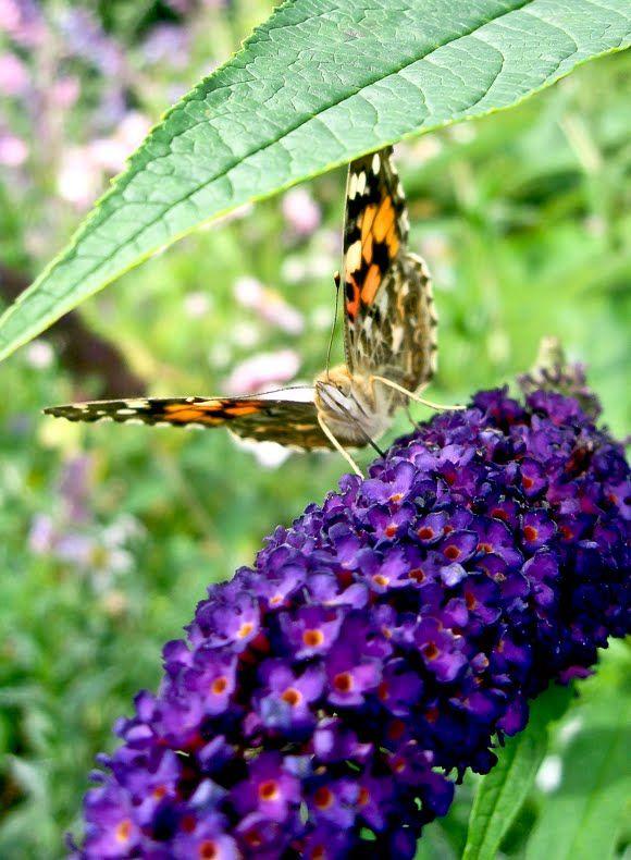 sommerfuglebusk