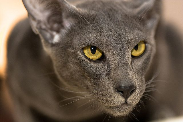5 Things You Didn't Know About The Oriental Shorthair – KATZ