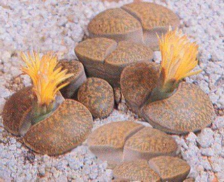 Lithops - Aizoaceae - Como curar y cultivar las plantas de Lithops
