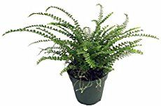 The boston fern (Nephrolepis exalta), so lush and green in the spring and summer… how do you overwinter a Boston fern? Boston ferns need good bright light for starters, a bright unblocked south window is ideal. A hot, dry home will allow the your fern to be messy. Here are a few tips for overwintering …