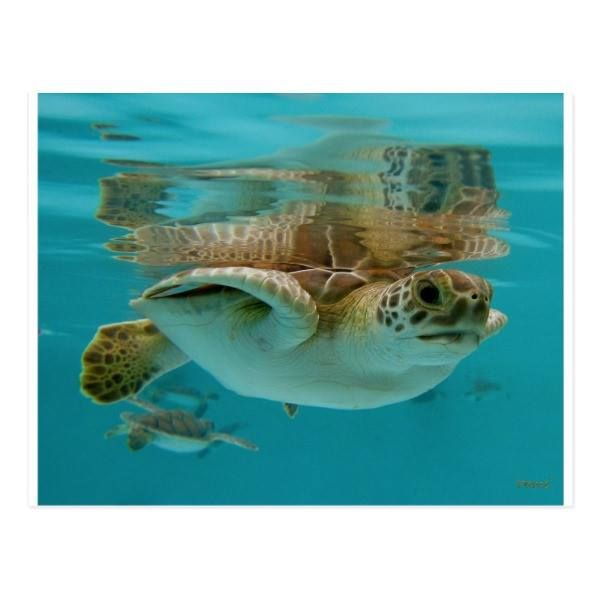 http://ift.tt/2v2LsGX Shop https://goo.gl/ixyvjp   Baby Green Sea Turtle Postcard    A baby Green Sea Turtle swimming in the warm waters of Mexico.     Go To Store  https://goo.gl/ixyvjp  #Animal #Baby #Cute #Endangered #Green #Ocean #Reptile #Saltwater #Sea #Turtle http://ift.tt/2v2LsGX