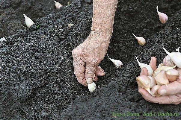 ВЫРАЩИВАЕМ КРУПНЫЙ ЧЕСНОК Сохраните, чтобы не потерять!  Чеснок имеет узколинейные листья, сложную луковицу, состоящую из 11 — 25 зубков. Семян не образует, размножается вегетативно. Посадочным материалом служат зубки. Чеснок — холодостойкое растение, начинает прорастать при температуре 3—5°С, легко переносит заморозки, в условиях Нечерноземной зоны может зимовать на корню.  Чеснок - травянистое растение семейства луковые. Родиной чеснока считается Средняя Азия. Культурные чесноки…