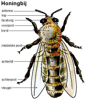 dit is de bouw van een honingbij. Dit is ook een geleedpotigen. Je kunt duidelijk zien dat hij een harde buitenkant heeft