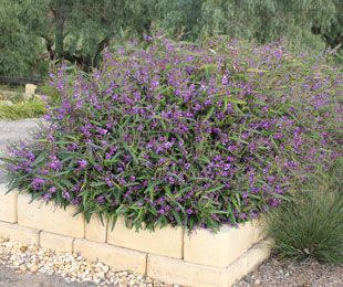 MEEMA™ is a longer lived Hardenbergia | Native Shrubs & Ground Covers