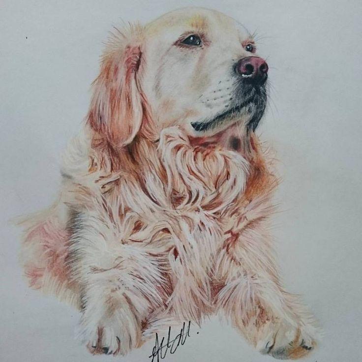 dog portrait Golden Retriever
