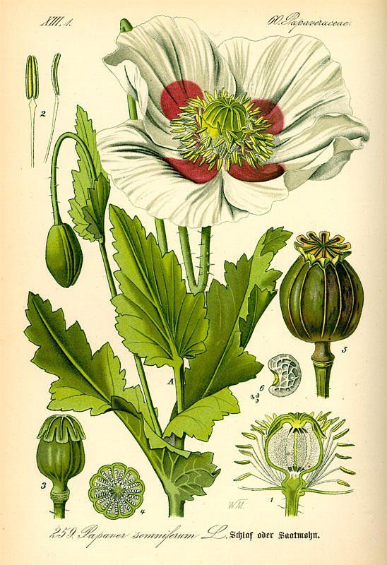 papavero da oppio-Erboristeria Dulcamara-Tavola Botanica Papaver somniferum