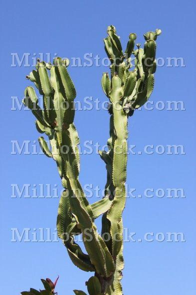Canary Island Spurge tree – Euphorbia canariensis