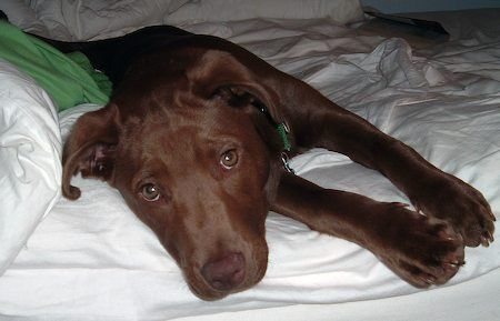 Looks So Much Like Zoey Lab Pitbull Mix This Was The