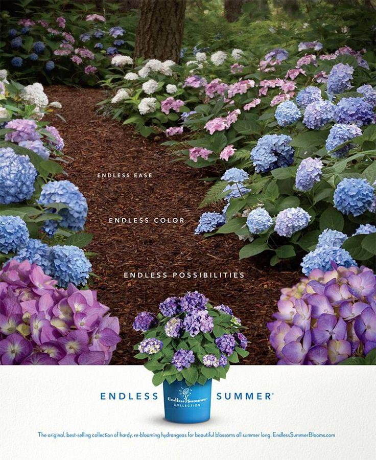 Endless Summer Hydrangeas
