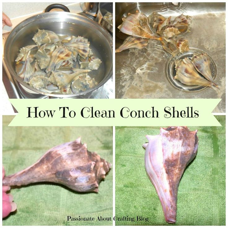 How to Clean Conch Shells and Whelk Shells - Step by Step Instructions with Before and After Photos