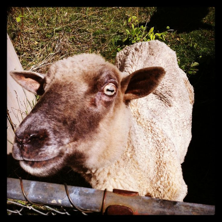 Meet Jemima the sheep - this gorgeous girl is the pet sheep on my family's farm!