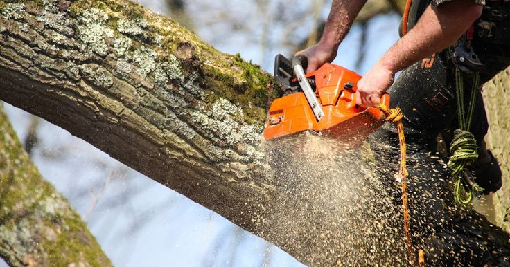 Why Would You Need A #Tree #Surgeon? - In simple words, the job of a tree surgeon is something more than cutting or watering the trees and plants. In fact, Tree Surgeons Brentwood or such other professionals help people in taking care of their trees and plants in numbers of ways.