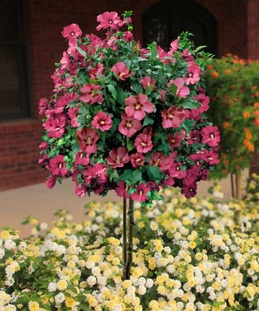 7 best Rose of Sharon images on Pinterest Rose of sharon