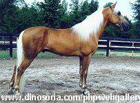 Lexique du cheval! Dictionnaire des races- A