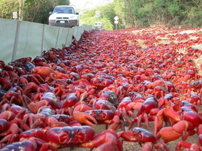 ISLA DE NAVIDAD. una migración de cangrejos que quiere llegar a casa y poner allí sus huevos