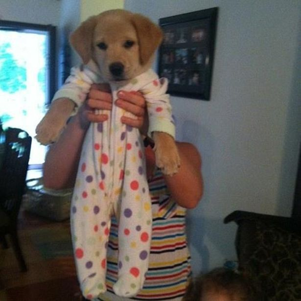 Golden Retriever Puppies Will Make You Say Awwwww | OMG Cute Things