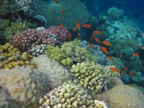 Beautiful Coral Reefs | Panoramio - Photo of beautiful coral reef makadi bay