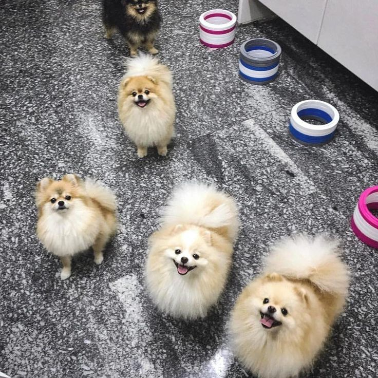 Ughhhhh so toll #pomeranianworld   – Pomeranian