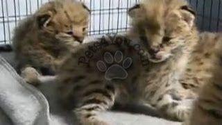 Savannah+Cats+for+Sale