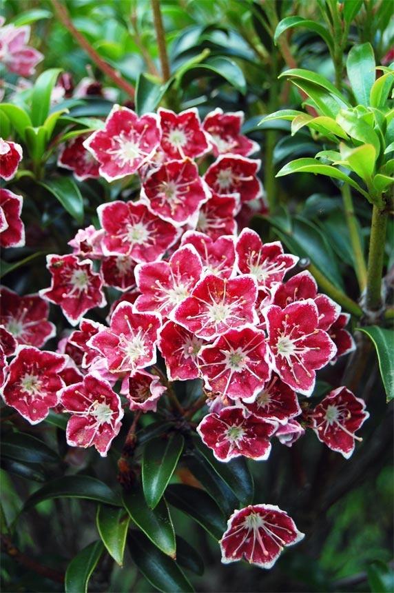 12 besten lorbeerrosen kalmia eine b tenpracht die for Evergreen pflanzen