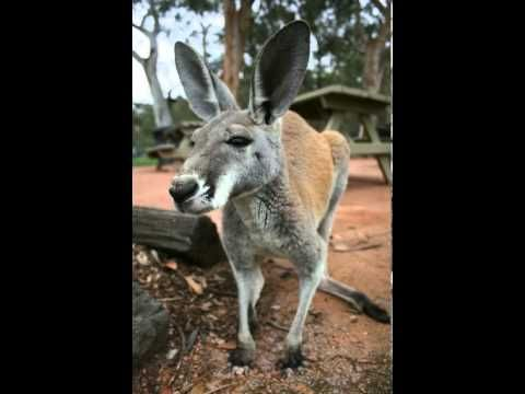 Kangaroo Facts - Facts About Kangaroos - YouTube