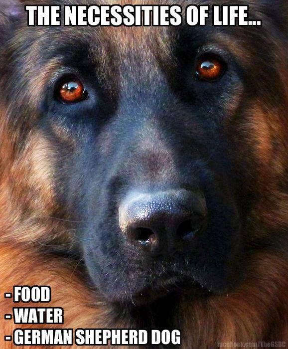 The German Shepherd Dog Community Check more at http://hrenoten.com