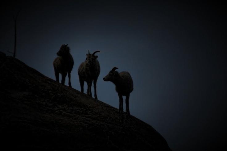 3 Female Big Horn Sheep