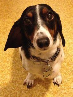Bildergebnis für piebald dachshund