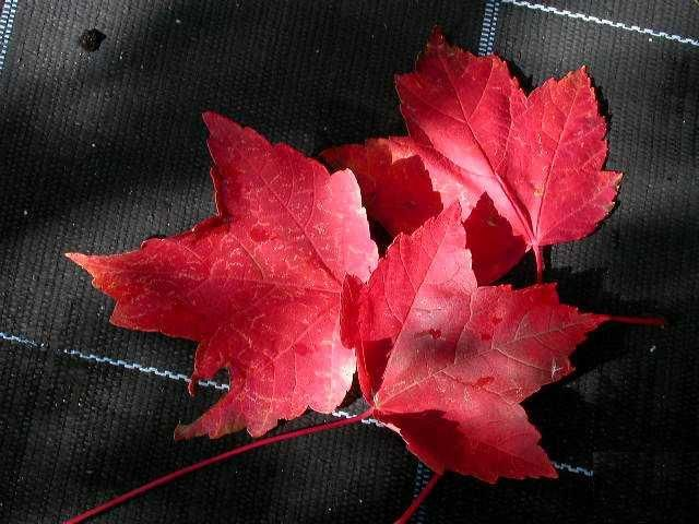 Image result for lipstick maple