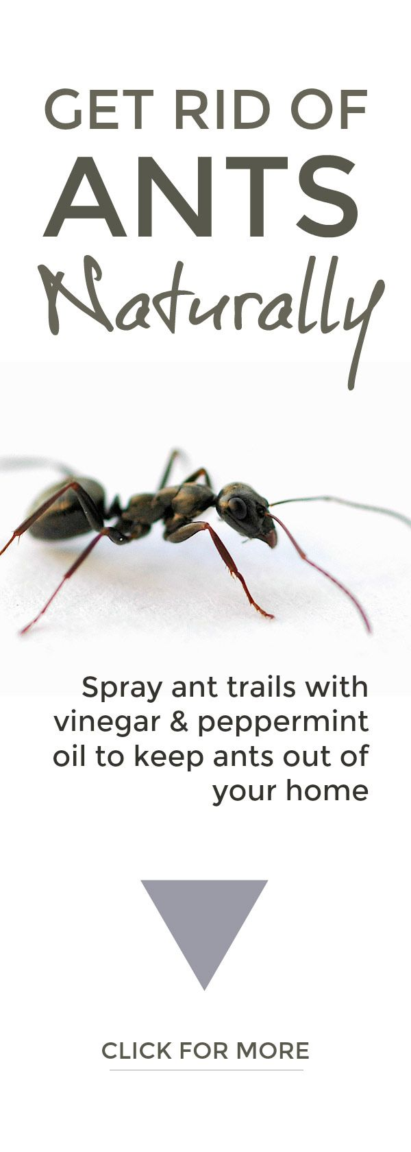 Get Rid Of Ants Naturally Rid Of Ants Get Rid Of Ants Ants