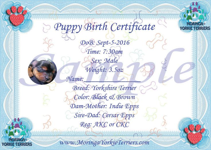 Male Yorkie Terrier Birth certificate | Yorkie Birth ...