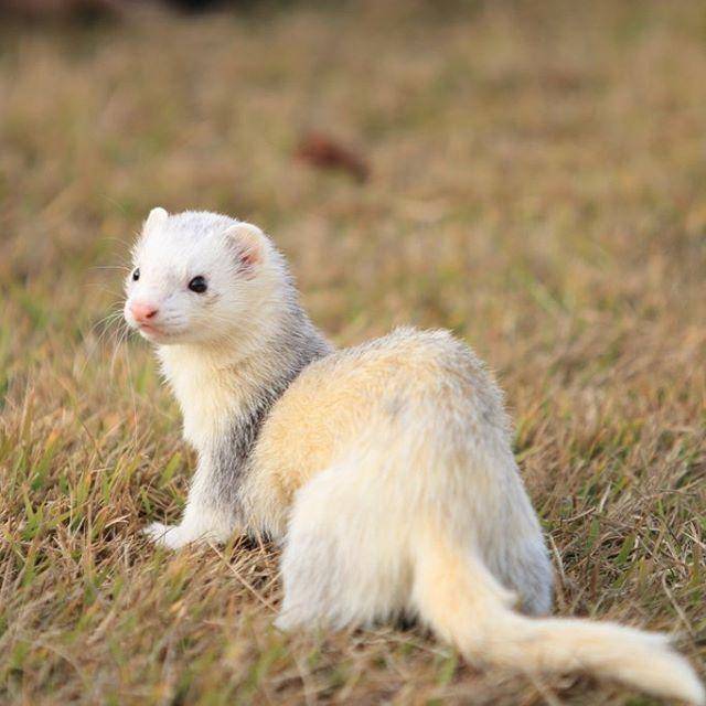 #ferret #ourgreatferretspics #furet #_officialpetsfeature #OfficialCritters #ferretsofinstagram #ferretgram #ferrets #instaferret #cutepetclub #balousfriends #pocket_pets  小次郎( ´ ▽ ` )ノ✨⭐️ ferret-KOJIROU✨