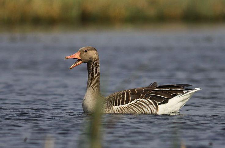 Greylag Goose / Anser anser / Ganso común / Ganso-bravo (Ganso-comum-ocidental) / Oie cendrée / L'oca selvatica / Grågås / Gęś gęgawa (Gęgawa)