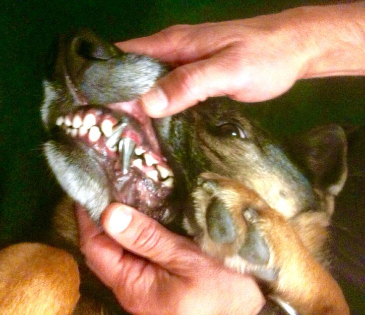 Some Military Dogs Have Titanium Teeth That Can Penetrate