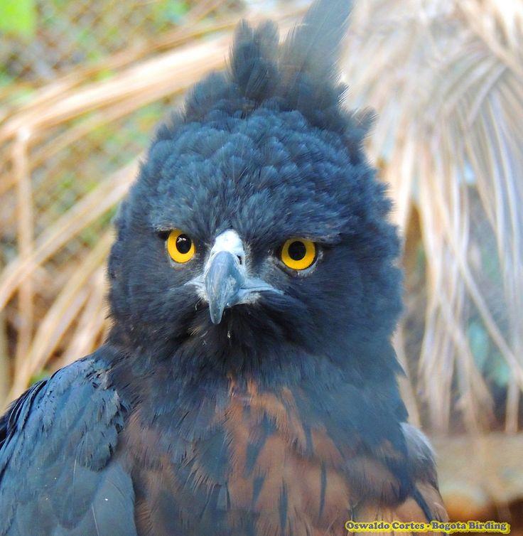 Black-and-chestnut Eagle, Spizaetus isidori, Sierra Nevada de Santa marta, Dorado Bird Reserve Black-and-chestnut Eagle, Spizaetus isidori, Sierra Nevada de santa marta | by OSWALDO CORTES - BOGOTA BIRDING AND WILDLIFE