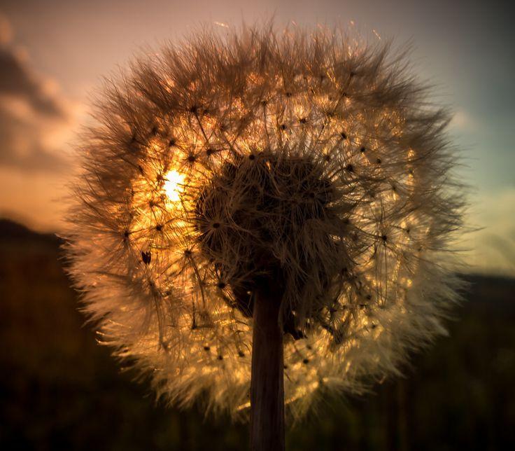 Golden dandelion by Michal Vávra on 500px