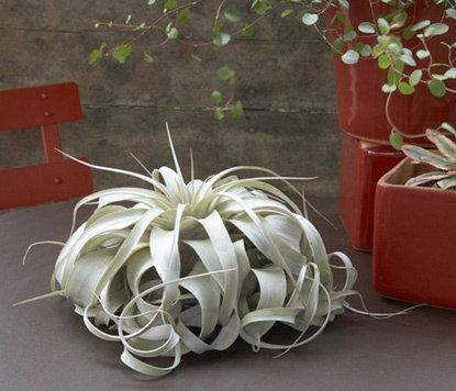 Large Air Plants - Large Xerographica Air Plants- The Queen of  air plants- 8 to 10 inches wide - 30 Day Air Plant Guarantee - FAST SHIPPING