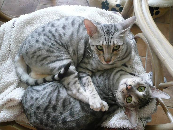 2 Silver bengal's cat silver spotted :)