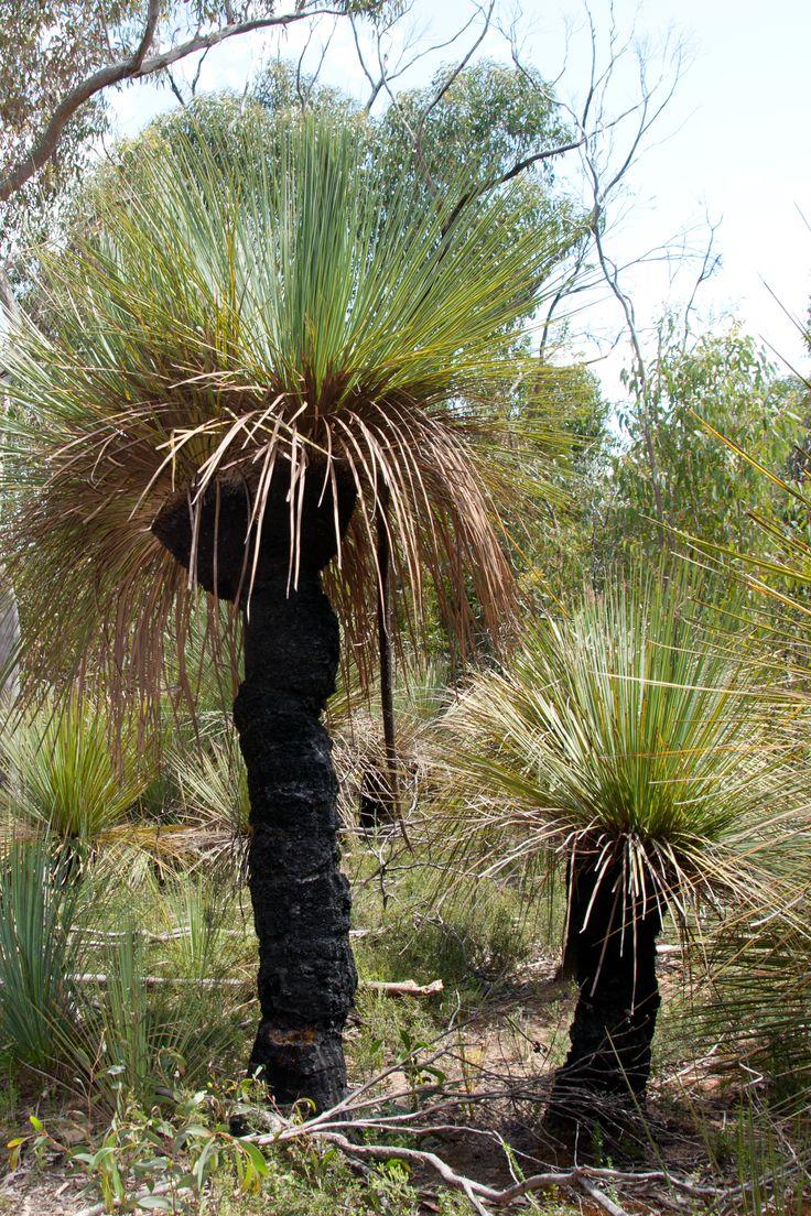 Tates_grass_tree_Xanthorrhoea_semiplana_tateana_(8271136148).jpg 1946×2919 pixels