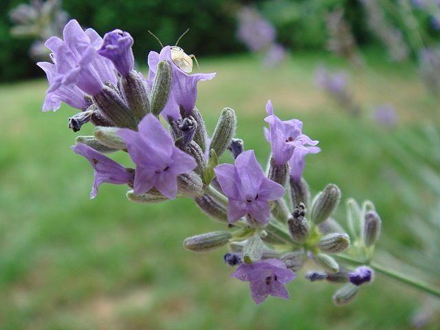 Lavanda: Cultivo, riego y cuidados aromaticas  foto