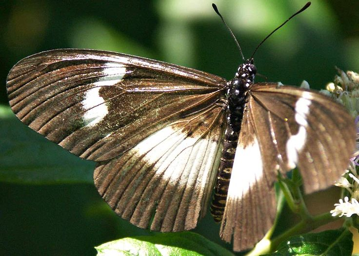 Pin on Longwings Heliconiinae
