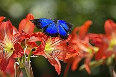 Ulysses butterfly on lilies, Papilio ulysses, Atherton Tablelands, Queensland, Australia