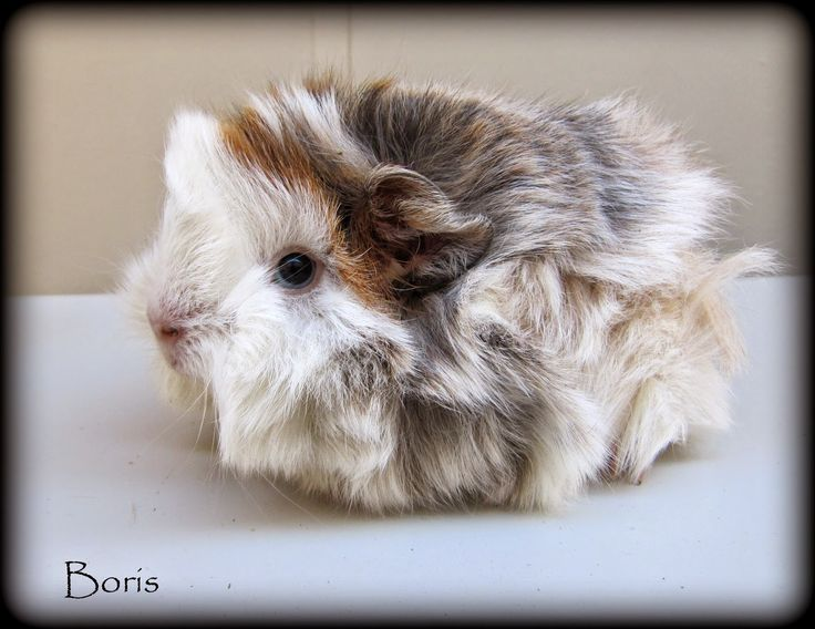 All Things Guinea Pig: My Boys