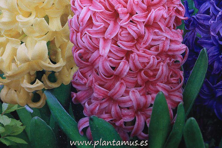 Bulbos variados de jacintos