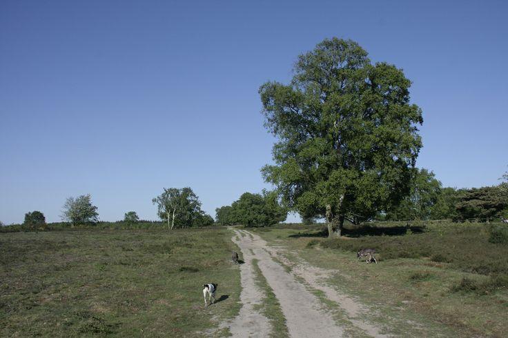 Heathland and dogs - Hoorneboegse Heide, Hilversum, The Netherlands