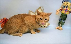 TIGER was surrendered by his owner after owner tried breaking up  a cat fight and got bit.  TIGER needs a new home - possibly as an only cat.