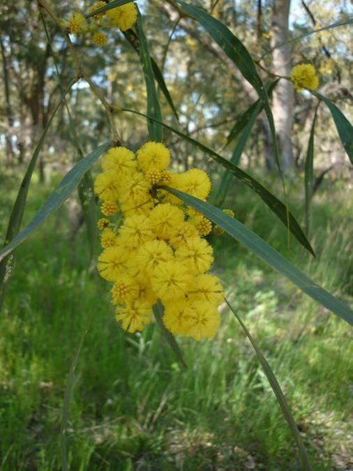 28 best images about western australian wildflowers on pinterest